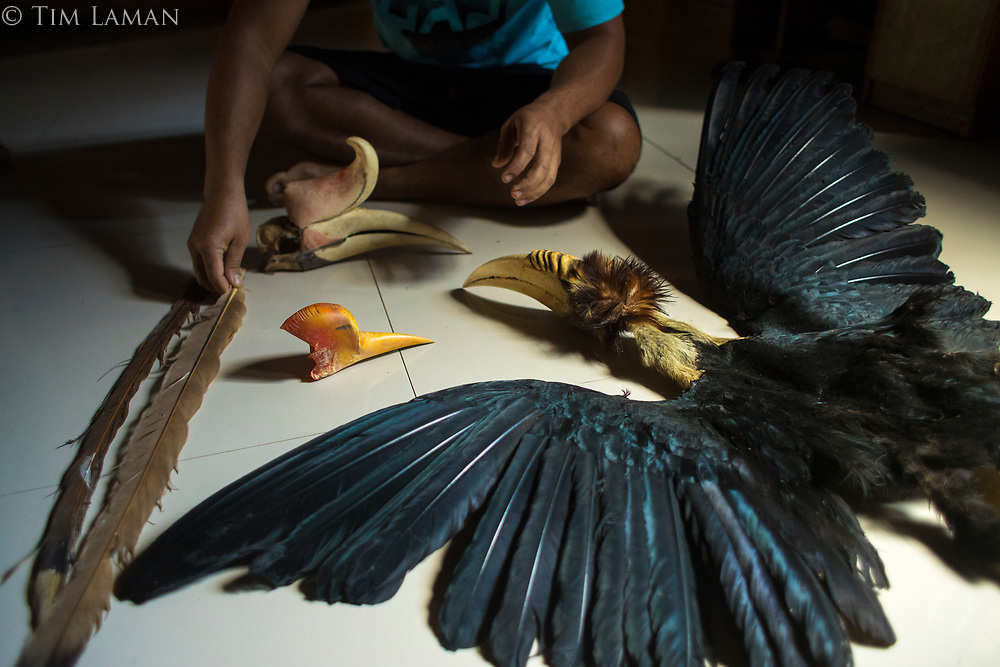 An Iban hunter displays some of his hornbill trophies in his house in Kapuas Ulu area of West Kalimantan, Indonesia.  Island of Borneo.<br /> <br /> Species displayed:<br /> Full skin of Wreathed Hornbill (Rhyticeros undulatus); Skull and casque of Rhinoceros Hornbill (Buceros rhinoceros); Casque of a young Helmeted Hornbill (Rhinoplax vigil), which traders would not buy because it only weighed 40 grams, and the minimum is 70 grams.  This young bird's casque is too thin to carve.
