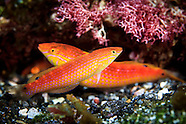 Suezichthys arquatus (Rainbow Wrasse) Initial Phase