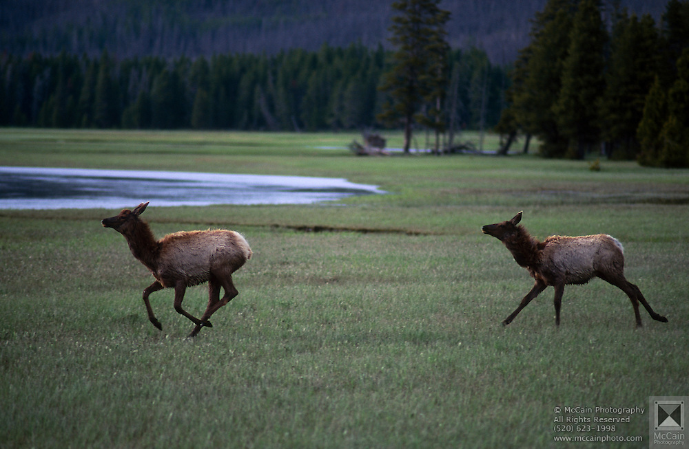 Two Elk (Cervus Canadensis) galloping through meadow, Yellowstone National Park, Wyoming ..Subject photograph(s) are copyright Edward McCain. All rights are reserved except those specifically granted by Edward McCain in writing prior to publication...McCain Photography.211 S 4th Avenue.Tucson, AZ 85701-2103.(520) 623-1998.mobile: (520) 990-0999.fax: (520) 623-1190.http://www.mccainphoto.com.edward@mccainphoto.com.