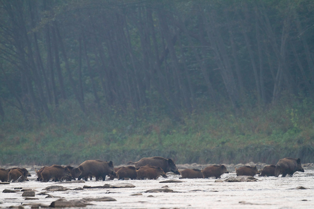 Family group of 20+ Wild boar (Sus scrofa) crossing the San River on a misty September morning. Krywe Nature Reserve, Bieszczady region, Poland.