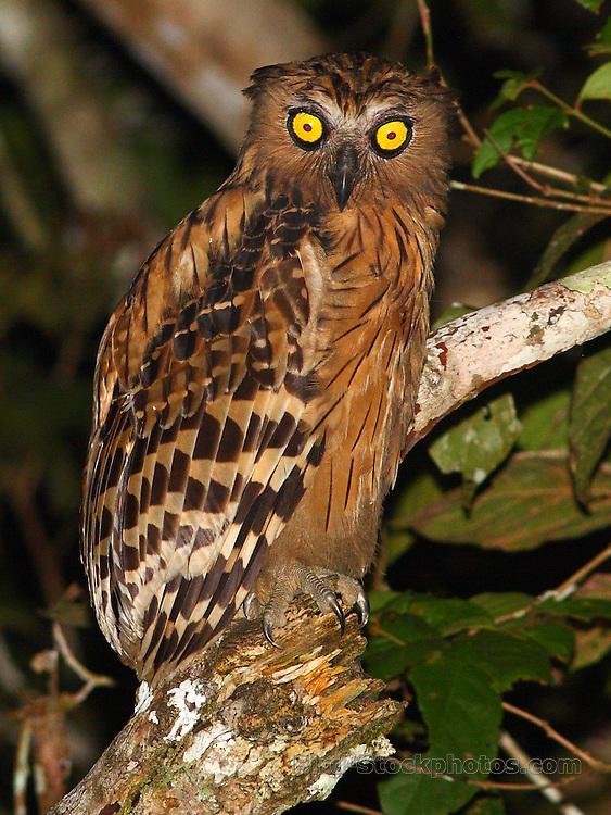 Buffy Fish Owl, Ketupa ketupu, Kinabatangan River, Borneo, Malaysia, by Markus Lilje