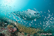 reef manta ray, Manta alfredi (formerly Manta birostris ), swims over cleaning station on patch reef, with yellow sweepers or golden sweepers, Parapriacanthus ransonetti, and other schooling fish, Hanifaru Bay entrance, Hanifaru Lagoon, Baa Atoll, Maldives ( Indian Ocean )