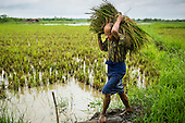 Rice Farming in the Delta