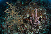 Coral Reef at 30m. Black Coral (Antipathes dichotoma) left and Tube Sponge (Kallypilidion sp.) right. Raja Ampat, West Papua, Indonesia, Pacific Ocean | Raja Ampat, West Papua, Indonesien, Pazifischer Ozean