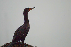 Double-Crested Cormorants (Phalacrocorax auritus), Castine, Maine, US