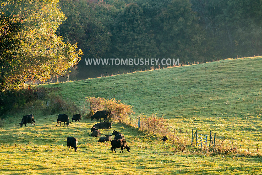 Mount Hope, New York - Cattle graze in fields at Pierson Farm and Greenhouse on the morning of Oct. 8, 2015.