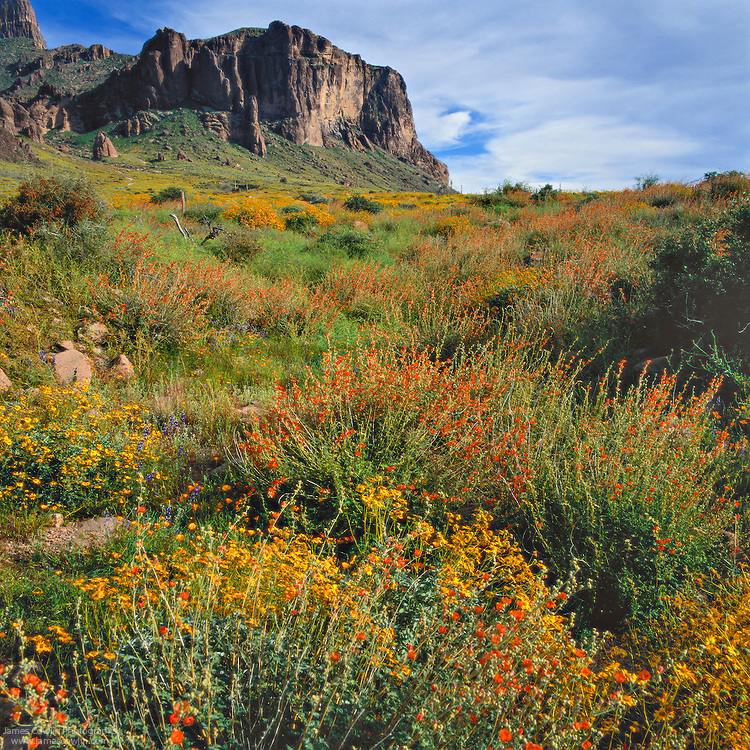 Wildflowers blooming in the spring in Lost Dutchman State Park in the Superstition Mountains in the Sonoran Desert of Arizona