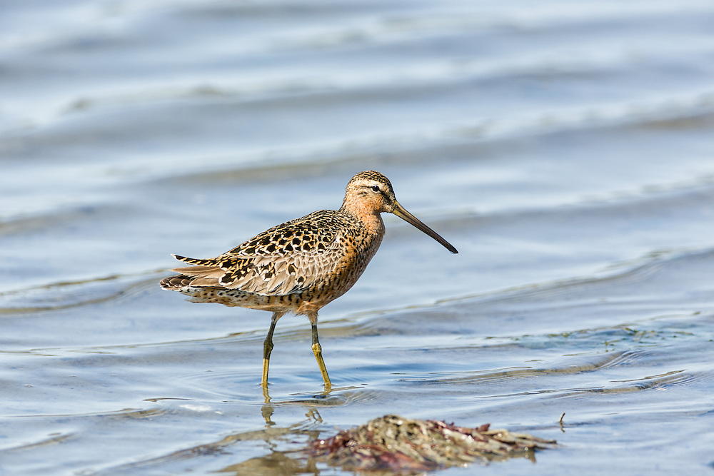 A Short-billed Dowitcher (Limnodromus griseus) forages in Mud Bay which is part of Kachemak Bay near the Homer Spit in Southcentral Alaska during its spring migration to the arctic. Afternoon.