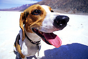 Buster the Beagle gives a winning smile on the salt flats of Death Valley.