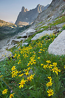 Cirque of the Towers, Yellow Aster wildflowers in the foreground, Popo Agie Wilderness, Wind River Range Wyoming