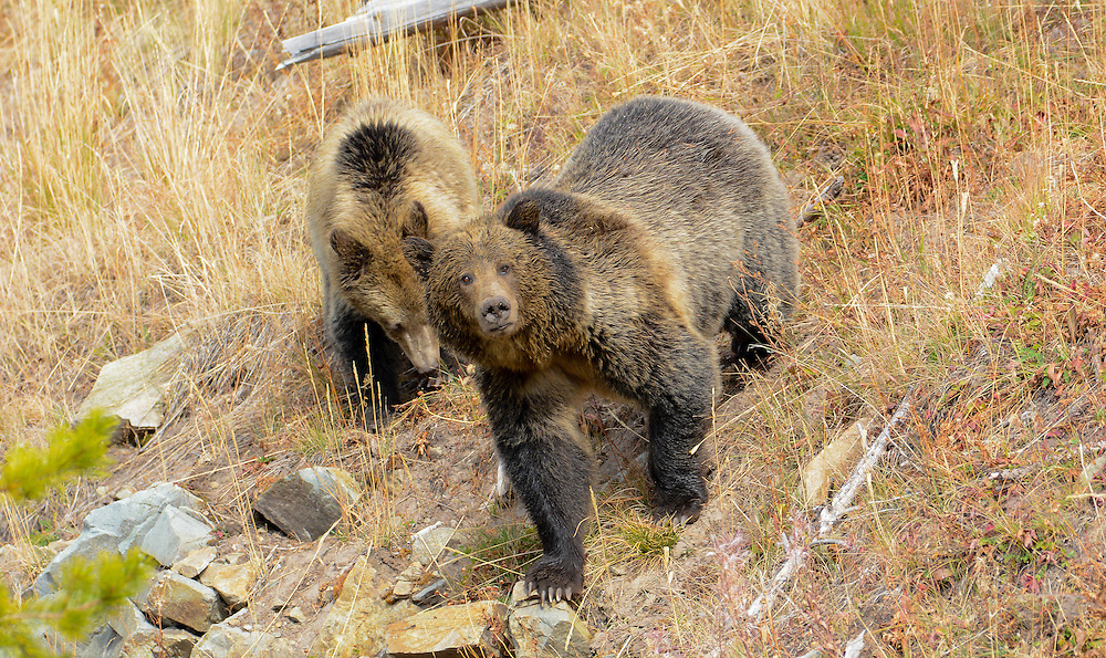 A grizzly bear sow and her cub, Yellowstone