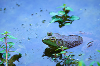 Bullfrog in a Pond. Summer Nature at the Sourland Mountain Preserve. Image taken with a Nikon D4 and 400 mm f/2.8 lens (ISO 400, 400 mm, f/5.6, 1/400 sec).