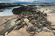 Marine Iguanas (Amblyrhynchus cristatus)<br /> Fernandina Island, Galapagos Islands<br /> ECUADOR.  South America<br /> ENDEMIC TO THE ISLANDS<br /> These are the only true marine lizard in the world. Although not truely social they are highly gregarious, often spending cool nights in tight clusters. As the sun rizes they can be seen sunning themselves on the rocks to heat up before going into the sea to feed. Their black coloration helps them to absorb the sun's energy and to camourflage on the lava rocks.