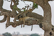 Two Leopards rest in a tree in East African habitat.