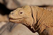 A santa fe land iguana (conolophus pallidus) on Santa Fe Island, Galapagos Archipelago - Ecuador.