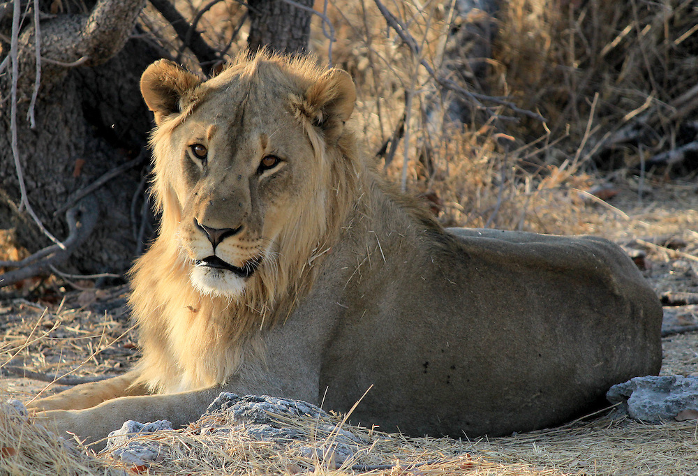 Young male lion (Panthera leo) lying in the grass, Etosha National Park, Namibia