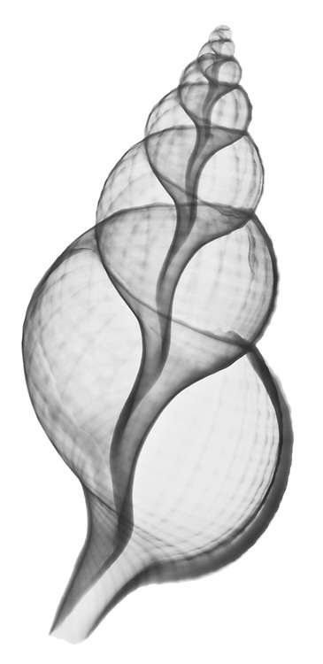 X-ray image of a Magellanic triton seashell (black on white) by Jim Wehtje, specialist in x-ray art and design images.