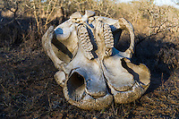 African Elephant skull and teeth, Phinda Private Game Reserve, Zululand, KwaZulu Natal, South Africa