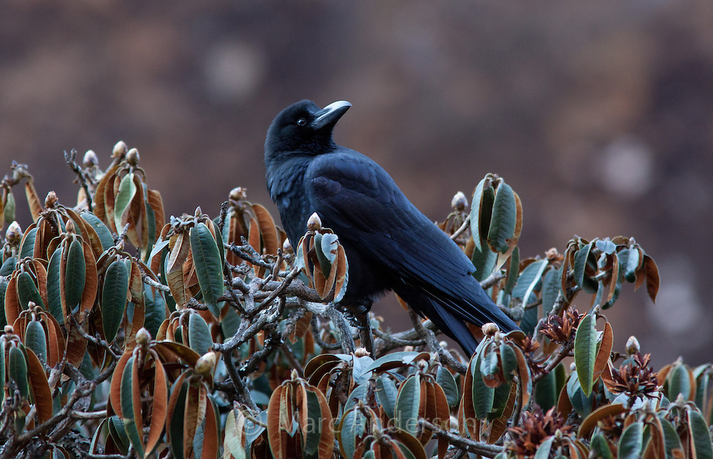 Common Raven,  Corvus corax, sitting on a budding Rhododendron tree, Langtang Valley, Nepal