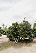 REDLANDS, CALIFORNIA - JANUARY 4, 2016: Orange picking at the University of Redlands in Redlands, Ca.