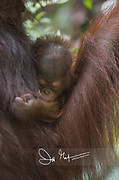 An infant Bornean orangutan clings to its mother in the forest of Tanjug Putin National Park in Indonesia.