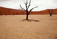 Dead bristlecone pine tree in Dead Vlei, Sossusvlei, Namib Desert, Namibia