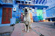 Stray dog close to a colorful house of Jodhpur