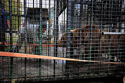 ROMANIA ONESTI 28OCT12 - A captive Eurasian brown bear is coaxed into a transport cage by tempting him with food at the Onesti zoo. The zoo  has been shut down due to non-adherence with EU regulations on the welfare of animals.....jre/Photo by Jiri Rezac / WSPA....© Jiri Rezac 2012