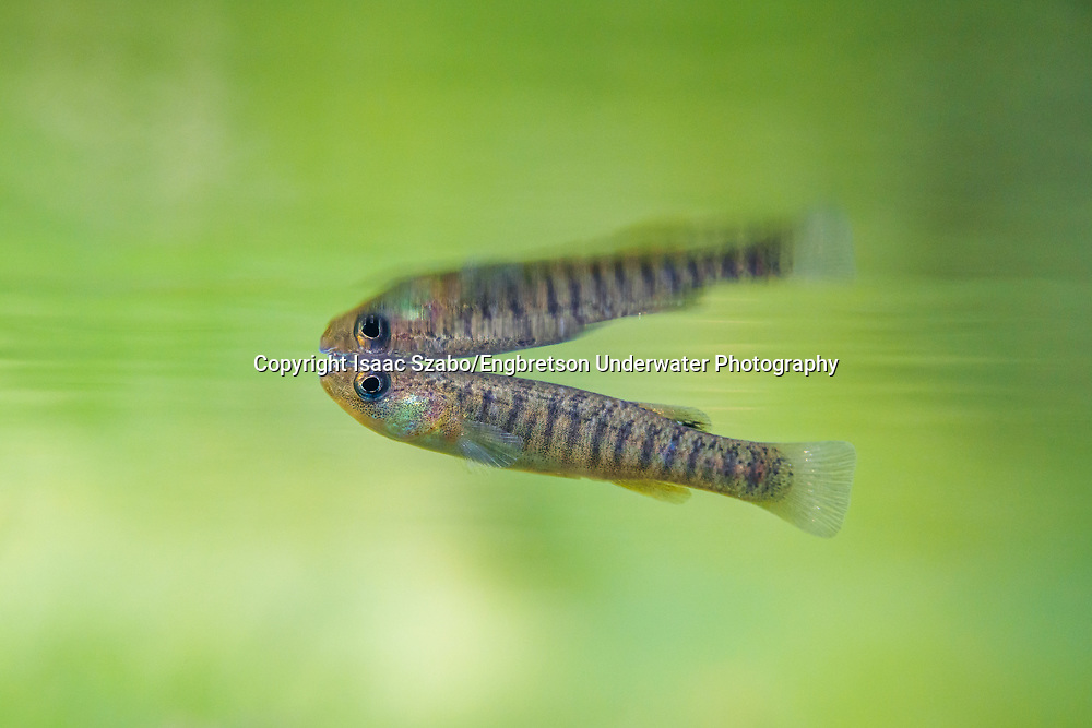 Marsh Killifish<br />