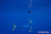 dorado, mahi-mahi, mahimahi, mahi mahi, or dolphin fish, Coryphaena hippurus, juvenile schoolie swimming past a flasher, off South Kona, Hawaii Island ( the Big Island ), U.S.A. ( Central Pacific Ocean )