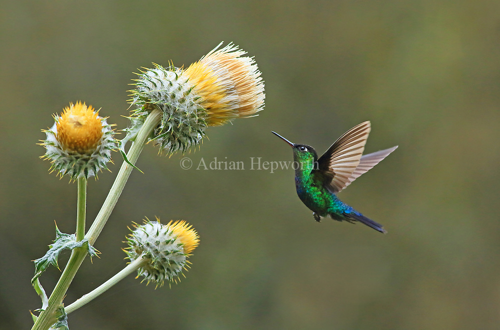Green-crowned Brilliant Hummingbird feeding at giant thistle (Cirsium subcoriaceum), Cerro de la Muerte, Costa Rica. <br />