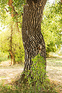 Cottonwood Tree; (Populus sargentii), Little Bighorn River, Medicine Tail Coulee, site of Battle of the Little Bighorn, Montana