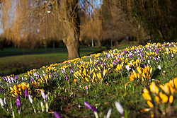 © Licensed to London News Pictures. 21/02/2014. Basingstoke, Hampshire. Crocus flowers bathed in golden morning sunshine in Eastrop Park, Basingstoke this morning 21st February 2014. Photo credit : Rob Arnold/LNP