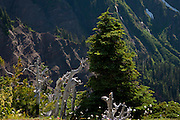 White bark pines and wildflowers at 1,880m (6,175 ft) on the McNeil Ridge, against the Yocum Ridge waterfalls.  This ridge is accessed from the Top Spur trailhead on the west flank of Mount Hood.