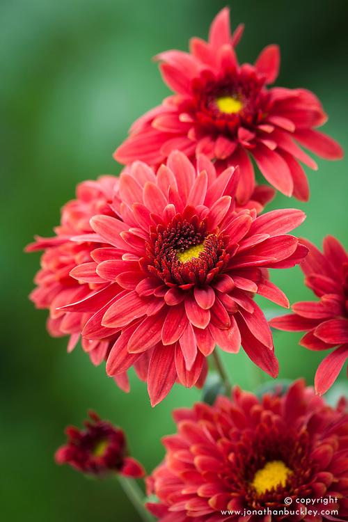 Chrysanthemum 'Beppie Red'