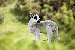 July 21, 2019 - Lamb (Credit Image: © John Short/Design Pics via ZUMA Wire)