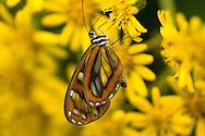 Clearwing butterfly on flower