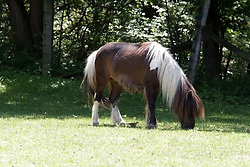 Brown and white horse or pony with long hair mane