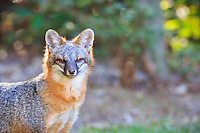 Grey fox, Point Harbor North Carolina.