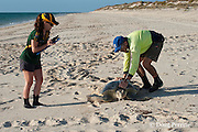 herpetologist researcher Dr. Mick Guinea, of Austurtle, measures a female flatback turtle that has just nested at nesting beach for Australian flatback sea turtle, Natator depressus, Australia