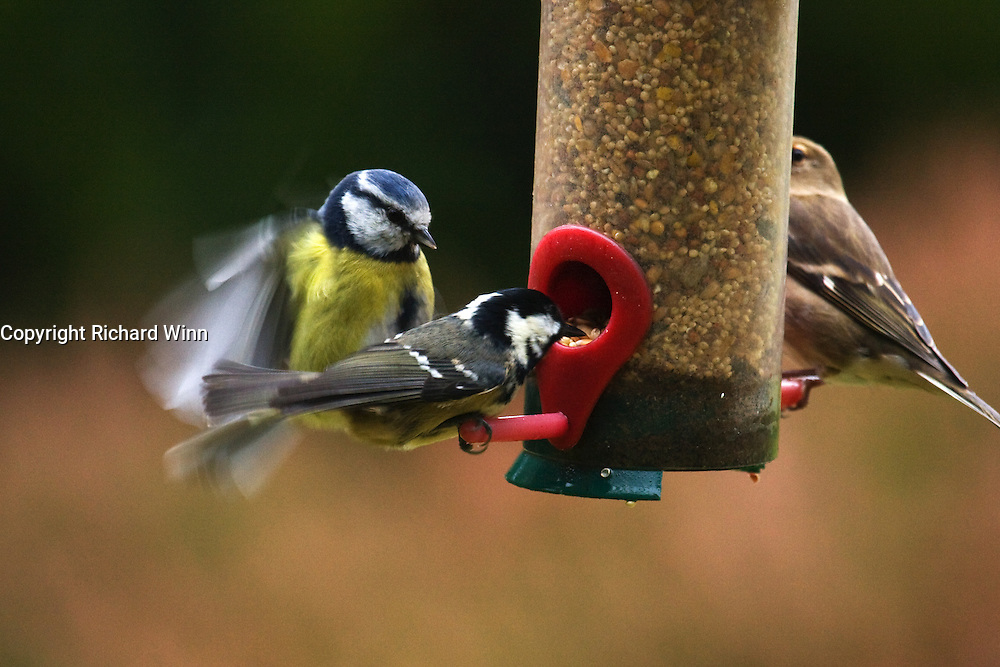 A blue tit pushes off a smaller coal tit from its place at a feeder.