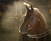 reining horse, horse portrait, horse photography, equine photography