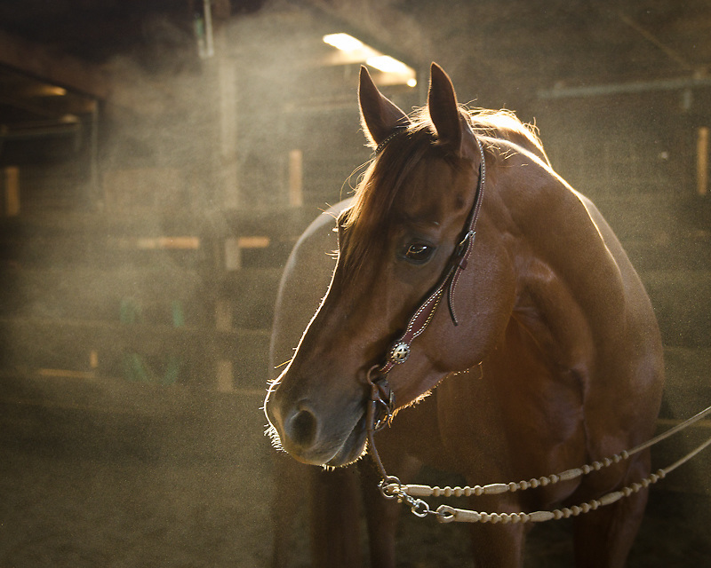 reining horse, horse portrait, horse photography, equine photography