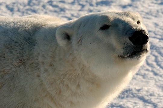 Polar Bear (Ursus maritimus) Close up portrait of male. Churchill, Manitoba. Canada. Winter.
