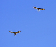 Against a Bluebird Sky - Raptors float on thermals mid day in Jackson Hole back lit by the sun.
