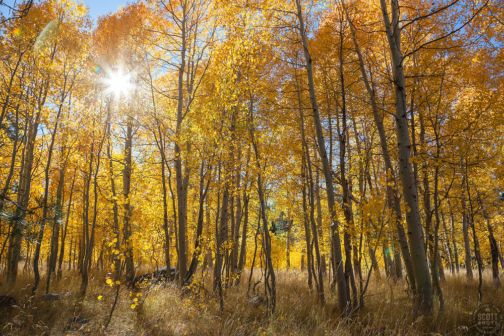 """Aspen at Fredrick's Meadow 2"" - Photograph of yellow aspen trees in the fall at Fredrick's Meadow near Fallen Leaf Lake, California."