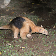 Anteater in Camp