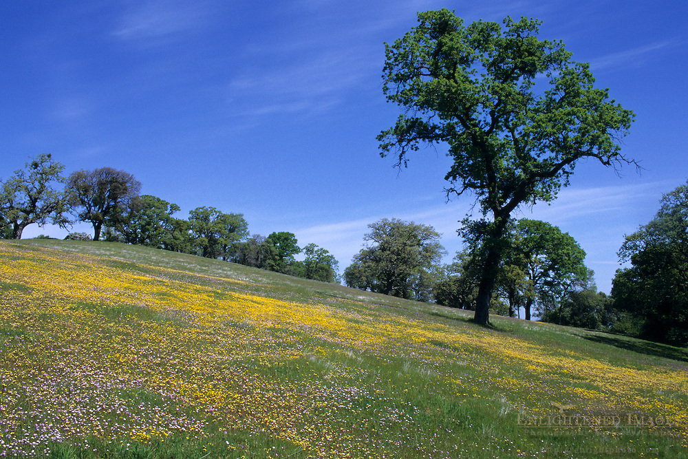 Spring wildflowers and Oak trees, Morgan Territory Regional Park, Contra Costa County, CALIFORNIA