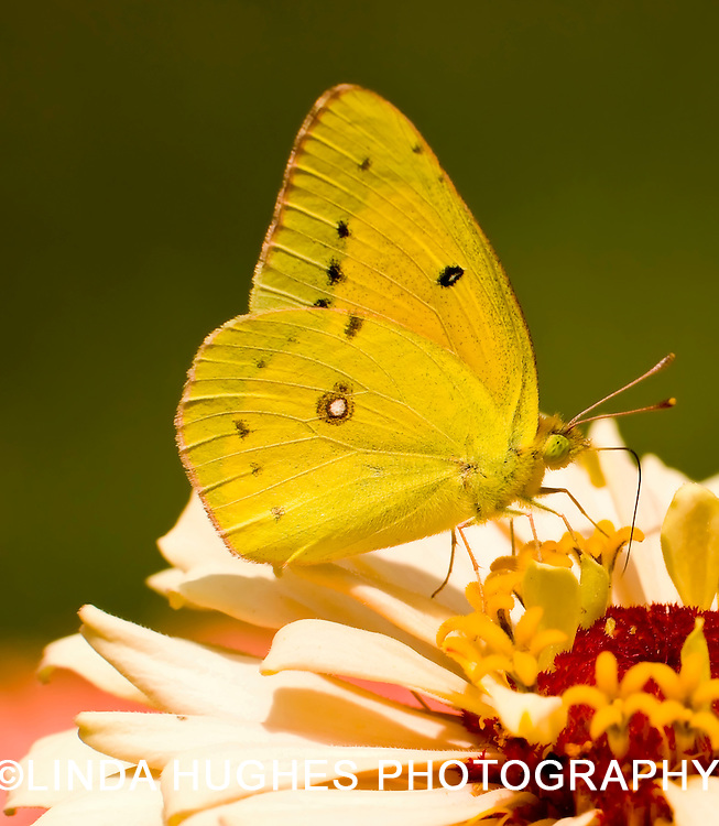 Butterfly (Pyrisitia lisa)
