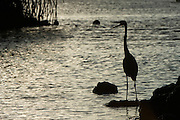 Great Blue Heron (Ardea herodias) Silhouette<br /> Black Turtle Cove<br /> Santa Cruz<br /> Ecuador<br /> South America